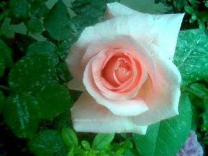 الورد الديري