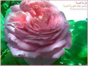 وردة الجوري